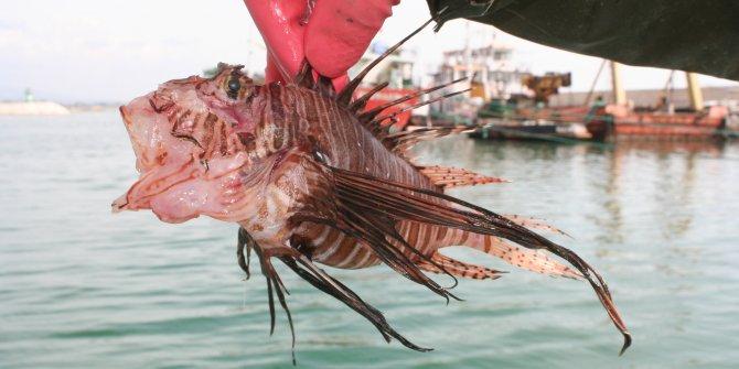 Zehirli balıktaki gizli mücevher ortaya çıktı. Süveyş Kanalı'ndan kıyılarımıza gelmişti
