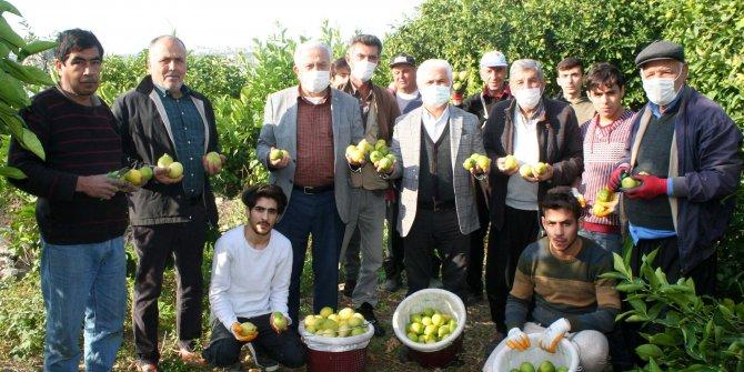Mersin'de yatak limonu toplanmaya başlandı