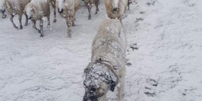 600 koyunla ölümün pençesine düştü