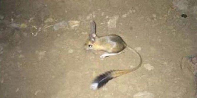 Nesli tehlike altındaki Arap Tavşanı Şırnak'ta görüntülendi