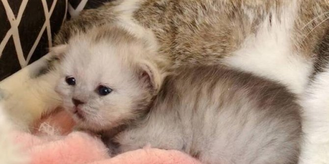 Çin'de bir ilk gerçekleşti. Nükleer transfer yöntemiyle orman kedisi klanlandı