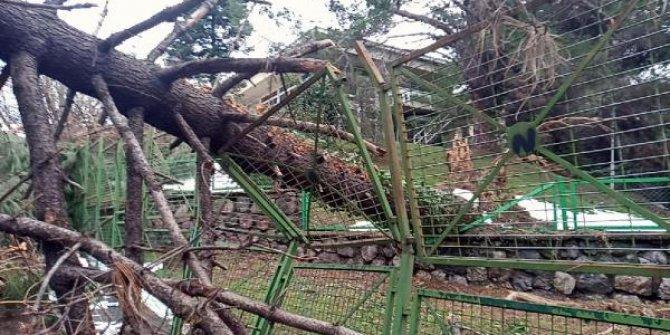 Fırtına devasa ağaçları kökünden söktü