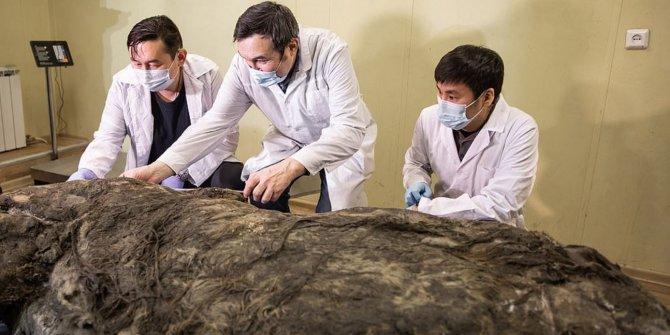 Sibirya'da 40 bin yıldır buzulun altındaydı. Bilim adamları nasıl dokunacaklarını bilemedi