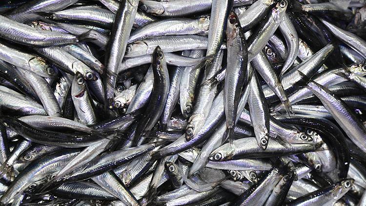 Hamsi avı yasağı 3. kez uzatıldı