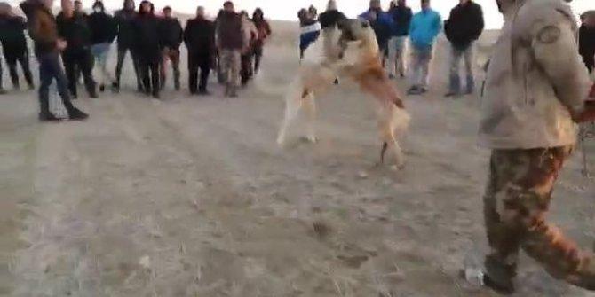 Köpekleri acımasızca dövüştürdüler. Konya'da skandal. Vicdansızlar