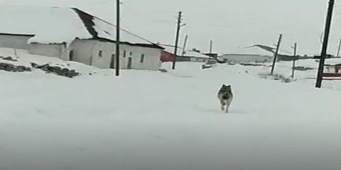 Sivas'ta acıkan kurt köye indi