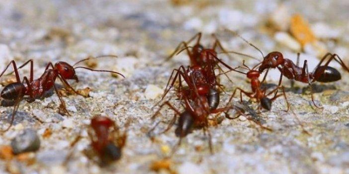 Karıncalar ülkeyi tehdit ediyor