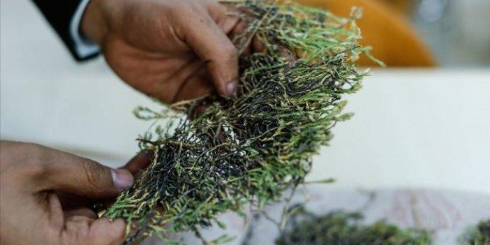 Aziz Sancar bitkisi ilaç oluyor!