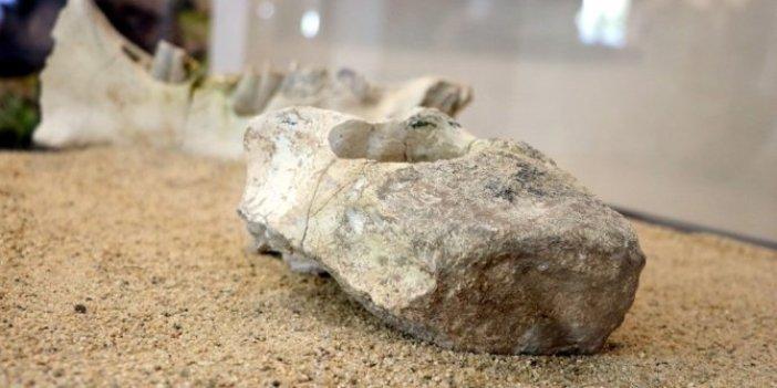 7,5 milyon yaşında zürafa fosili bulundu