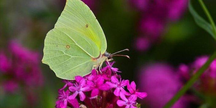 O kelebek türü Burdur'da ilk kez görüldü