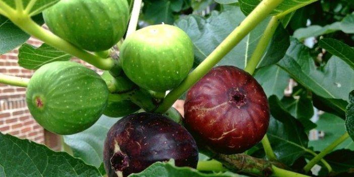 İncir yaprakları koroner kalp hastalığını önlüyor