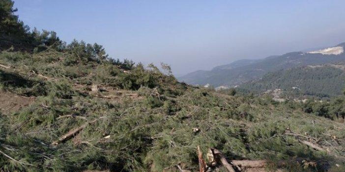 Kaz Dağları'nda yeni ağaç katliamı