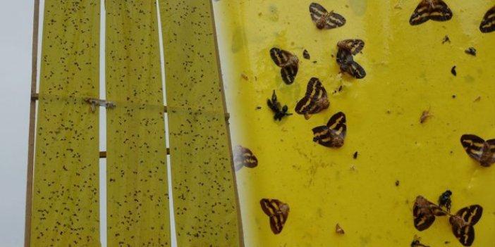 Vampir kelebekle mücadele için yerli bulundu