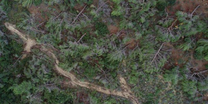 Bin 500 ağacı kesti alkollüyüm dedi