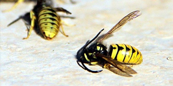 Yaban arılarının nesli tehlike altında!