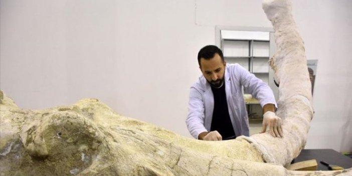7,5 milyon yıllık fosiller sergiye hazırlanıyor