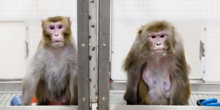 Maymunlara bilinçli olarak virüs bulaştırıldı: Koronaya iyi gelen ilaç 12 saatte iyileştirdi