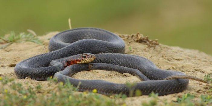 Sürü halindeki yılanlarla ilgili açıklama
