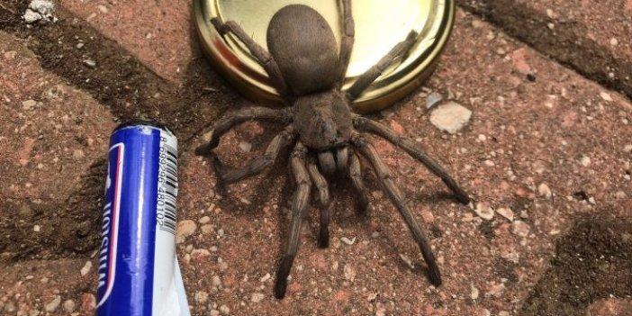 Osmaniye'de dev örümcek paniği