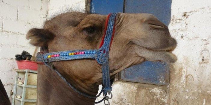 Dövüşten kaçan develer kurban olarak satışta