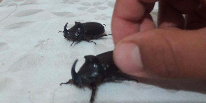 Bingöl'de gergedan böceği paniği