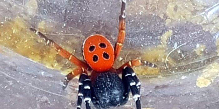 Hepimizin karşısına çıkabilir: Bursa'da öldüren örümcek paniği: Uğur Böceği görünümlü katil
