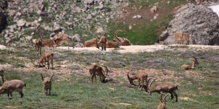 13 bin lira için öldürülecekler: Dağ keçilerinin öldürülmesine hayır