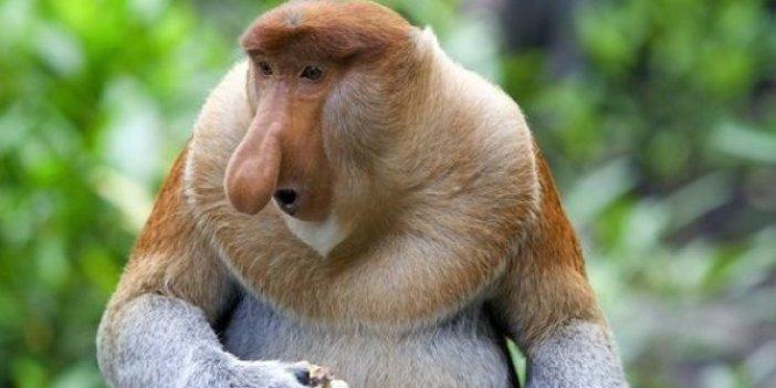 Uzun burunlu maymun nedir