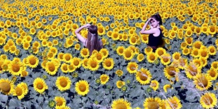 Fotoğrafta yeni trend: Ayçiçeği tarlaları