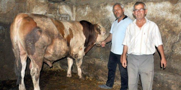 1 ton 100 kiloluk 'Tosun' adlı dana 24 bin liraya satıldı