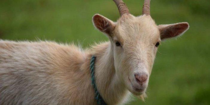 Maske takmayan keçi gözaltına alındı