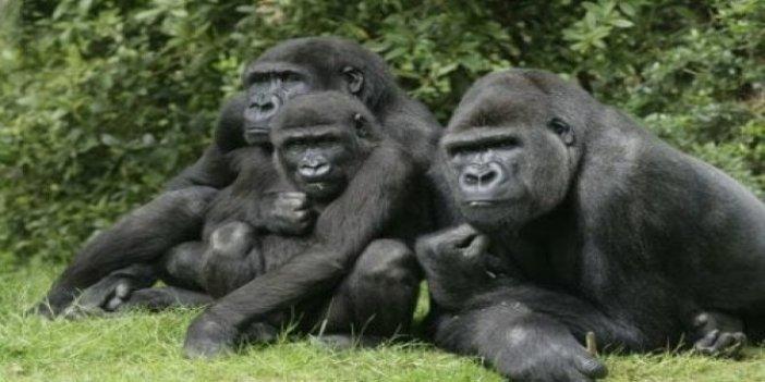Goril öldürdü 11 yıl hapse çaptırıldı