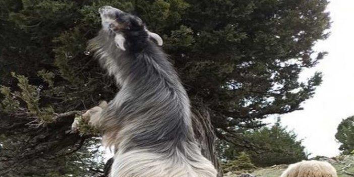 Kaçan kurbanlık keçi, 5 gün sonra böyle bulundu