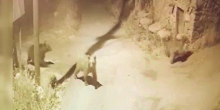 Sivas'ta ayı paniği! Böyle dolaştılar
