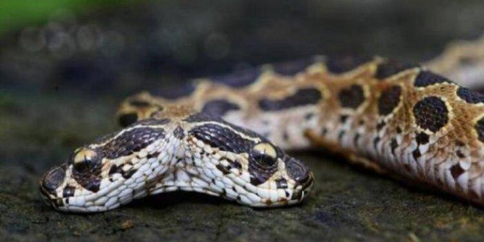Her yıl yüzlerce can alıyor! Tek ısırıkla öldürüyor! Şimdi de başımıza çift başlı yılan çıktı