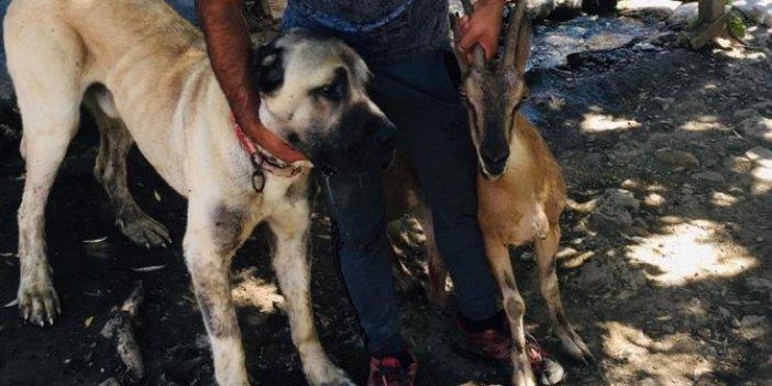"""Yaban keçisini ölümden """"Tatar"""" kurtardı! Yaşasın iyi insanlar! Yaralı keçiyi 4 kilometre taşıdı"""
