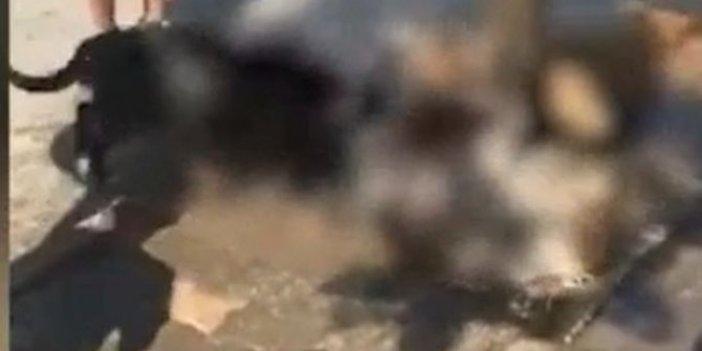Sokak köpeğini pitbullara parçalattılar, yasağa rağmen bu köpekler nasıl sahipleniliyor