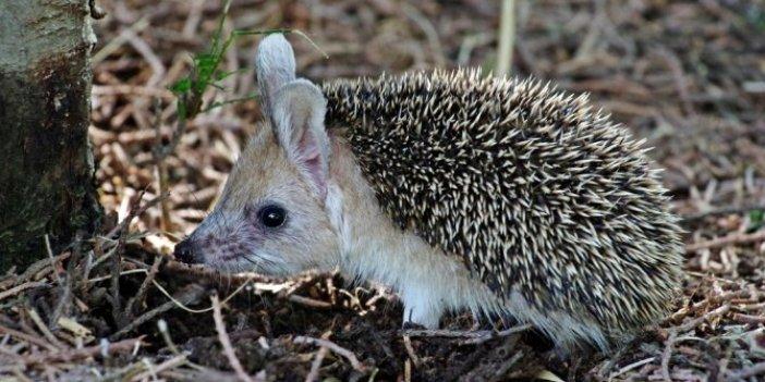 Uzun kulaklı çöl kirpisi görüldü! Tavşan değil kirpi! Bakan dönüp bir daha bakıyor
