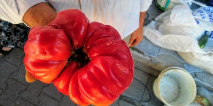 1 kilo 120 gramlık domates şaşırttı! Çanakkale'de yetişti! Gören dönüp dönüp baktı
