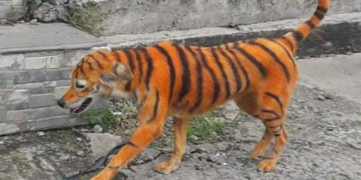 Köpeği kimyasal boyayla kaplan rengine boyadılar, hayvanseverler ayakta