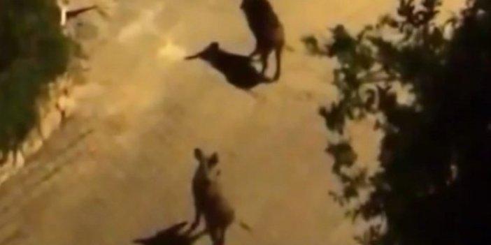 Babaaa koş domuz var! Antalya'da domuz paniği