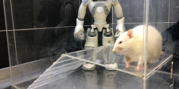 Robot ve sıçan birbirinin öğretmeni oldu