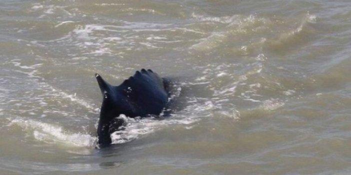 Nehirde aniden ortaya çıktı! Timsahlar bile kaçacak delik aradı