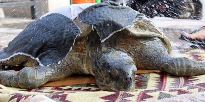 Yaralı yeşil deniz kaplumbağası üzdü! Gözyaşları sel olup aktı