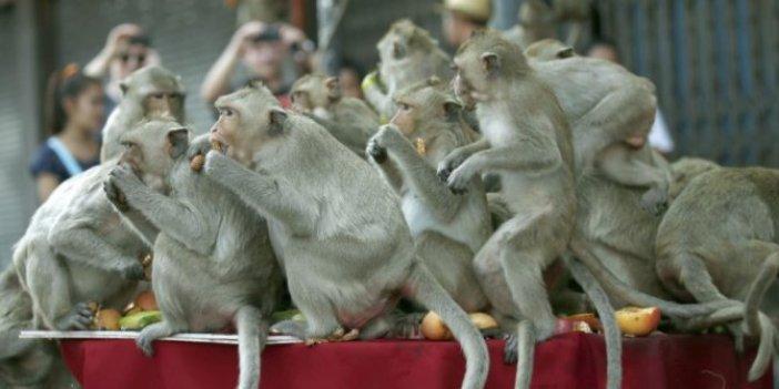 Evlere baskın yapan 200 maymuna büyük ceza