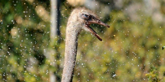 Sıcaktan kavrulan deve kuşlarının su keyfi