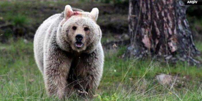 Kars'ta ayı saldırısı! Ağır yaralandı