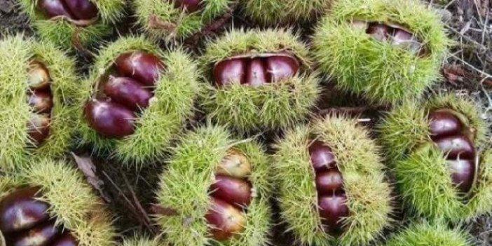 Kestane geçim kapısı oldu. Bedava toplayıp kilosunu 25 liradan satıyorlar. Ormanlık alanda ağaçlar bu meyveyle dolu