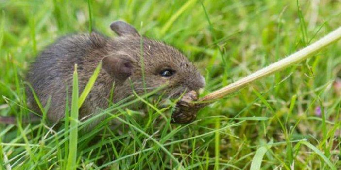 Fransa'da fare hastalığı paniği