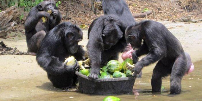 Hayvanları Koruma Günü'nde Şempanze Adası açıldı